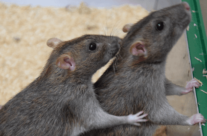 Cops blame rats after 200 beer cans consumer from government store